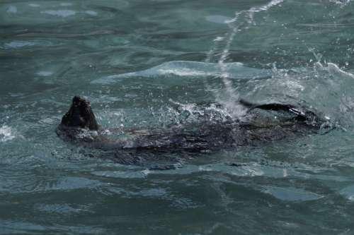 Seal Paddling Backstroke Supine Position Swim
