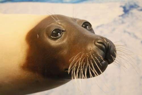 Seal Whiskers Animal Mammal Ocean Sea Water