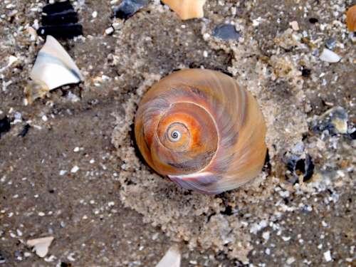 Seashell Shell Sand Beach Shore Sandy Coast
