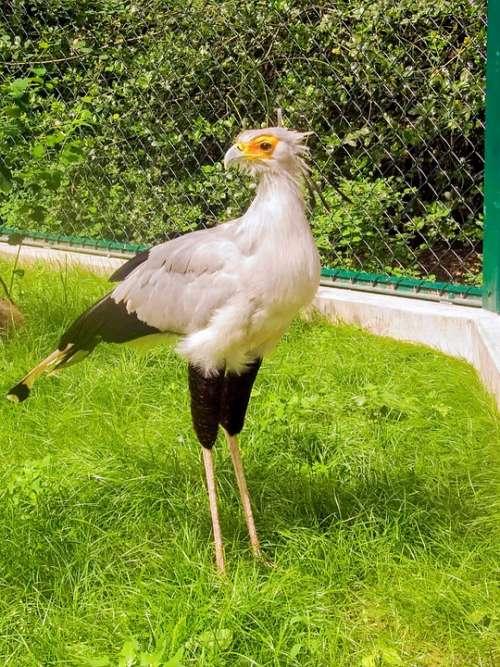 Secretary Raptor Bird Secretary Bird Animal