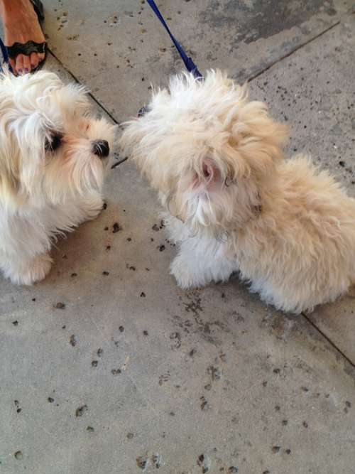 Shaggy Dogs Dogs Shaggy Pedigreed Fluffy Pair