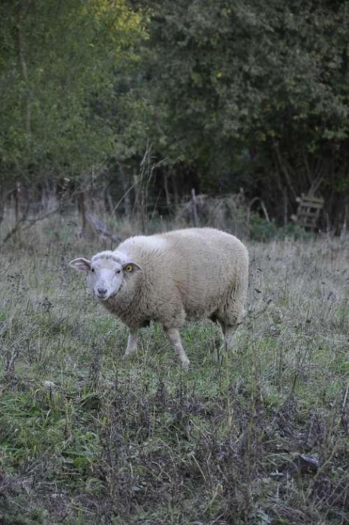Sheep Nature Animal