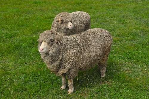 Sheep Wool Paddock Animal Farm Lamb