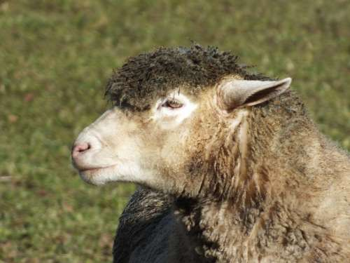 Sheep Wool Animal Agriculture