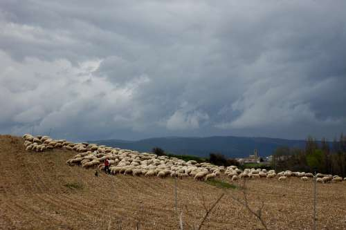 Sheep Flock Of Sheep Spain