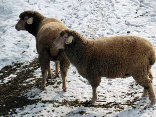 Sheep Winter Pasture Snow Wool