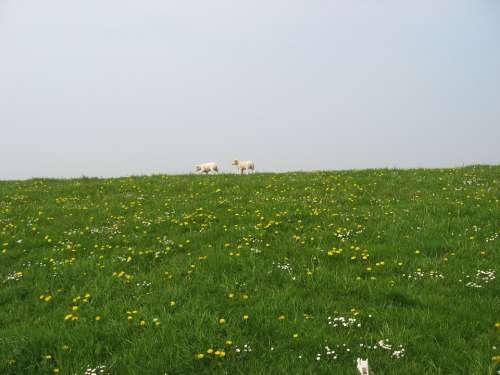 Sheep Dyke West Frisian Daisy Dandelion Animal