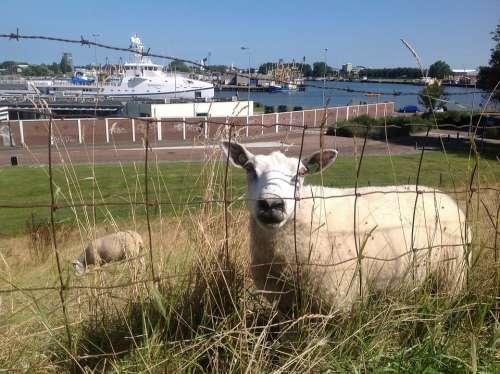 Sheep Boulevard Shipyard Vlissingen Zealand