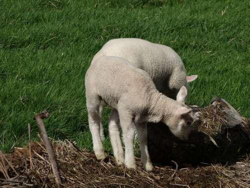 Sheep Lamb Meadow Animal Grass Green Countryside