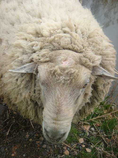 Sheep Animal Home Wave Hair