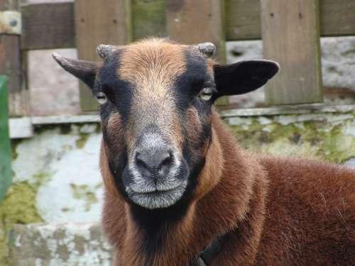 Sheep Animal Head