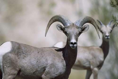 Sheep Bighorn Female Sheeps Animals Fauna