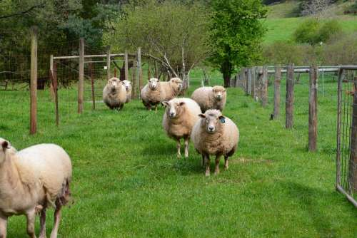 Sheep Gippsland Victoria Australia Farm Rural