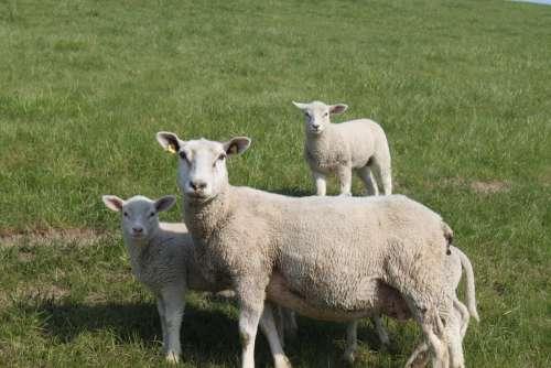 Sheep Dyke Lamb Animal Dike Nordfriesland Meadow