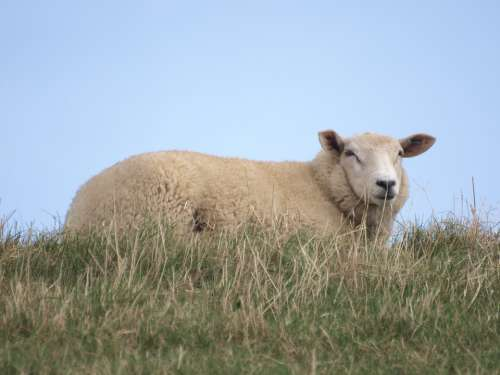 Sheep Dike North Sea Grass Rest Relaxation