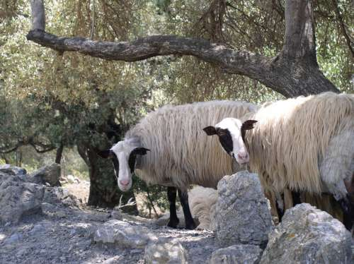 Sheep Animals Olive Trees