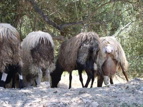 Sheep Butt Animals Landscape Rump