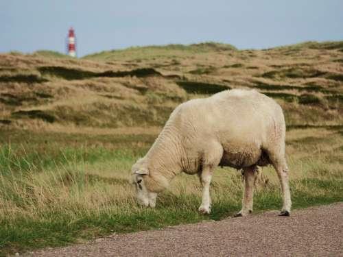 Sheep Sylt North Sea Sheep'S Wool Pasture Road