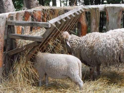 Sheep Lamb Farm Livestock Agriculture Farming
