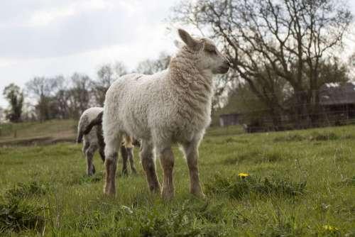 Sheep Lamb Animal Schäfchen Cute Animal World