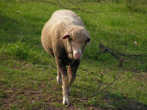 Sheep Pasture The Successive Mammal Animal