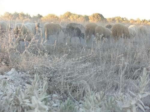 Sheep Landscape Nature