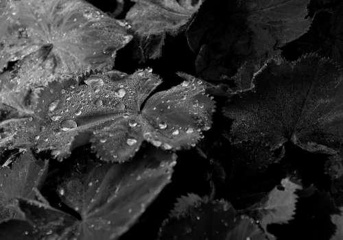 Sheet Water Drop Nature Foliage Drops Dew