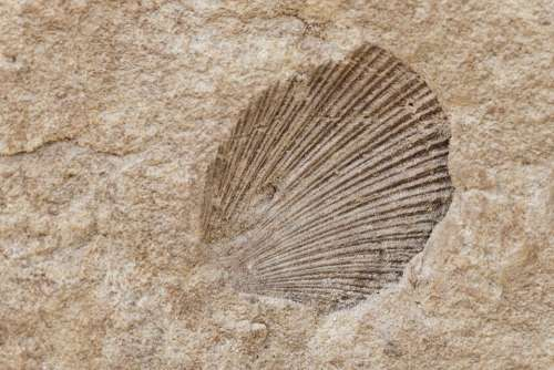 Shell Fossil Old Ancient Stone Nature Rock