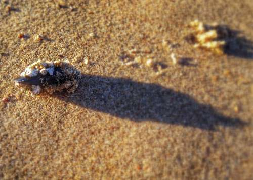 Shell Mussel North Sea Close Up Beach