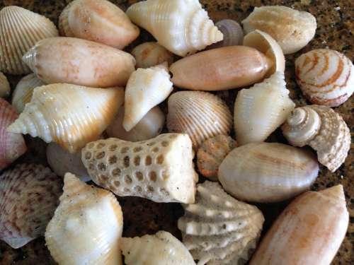 Shell Sea Shells Sea Shells Beach Florida Ocean