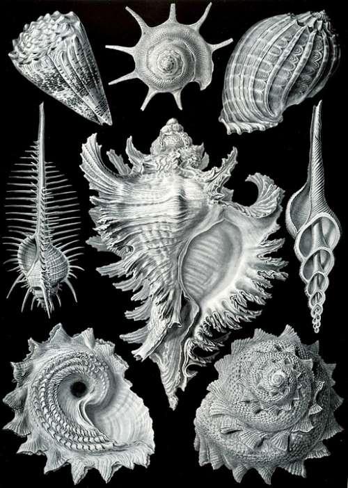 Shellfish Mussels Murex Pecten Prosobranchia Haeckel