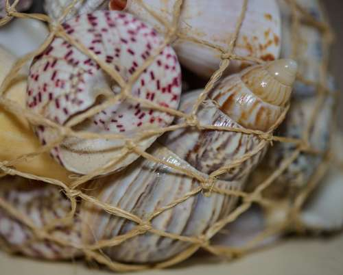 Shells Scallops Twine Sea Imprisoned Souvenir