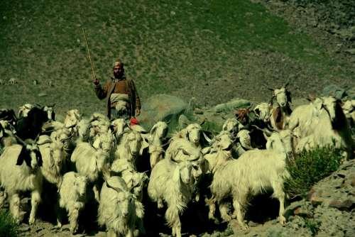 Shepherd Ladakh India Tibet