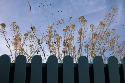 Shepherd'S Purse Herb Plant Stalk Blossom Bloom