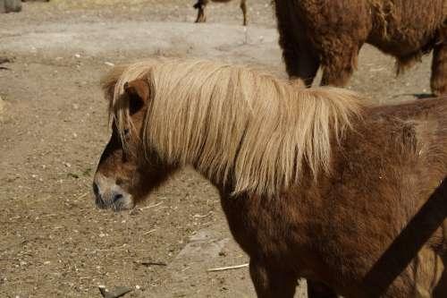Shetland Pony Pony Horse Small Ride Coupling