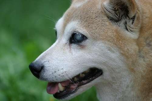 Shiba Inu Dog Blind Smile Profile