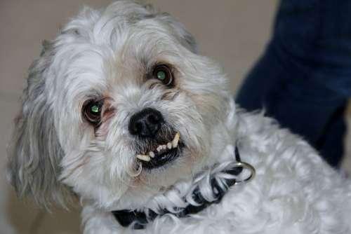 Shitzu Maltese Dog Aggressive Horror Bite Zombie