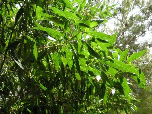 Shrub Greenery Leaves Foliage Vegetation Plant