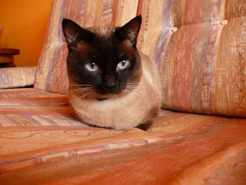 Siamese Cat Pet Blue Eyes Animal Cat