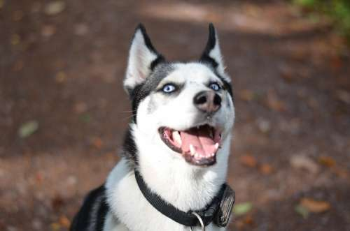 Sibirian Husky Husky Dog Sunny Blue Eyes Snow Dog