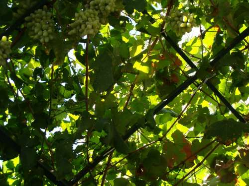 Sicily Italy Corleone Nature Grapes Fruit Green