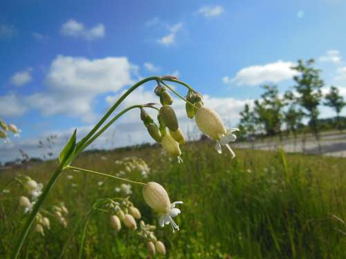 Silene Vulgaris Wild Plants Blooming Close-Up