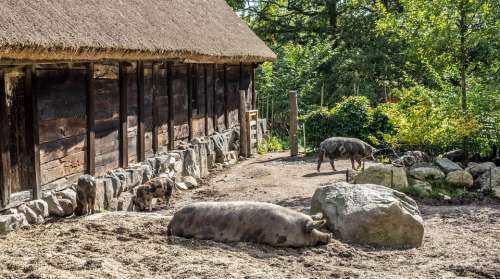 Skansen Rural Pigs Stockholm Sweden Scandinavia