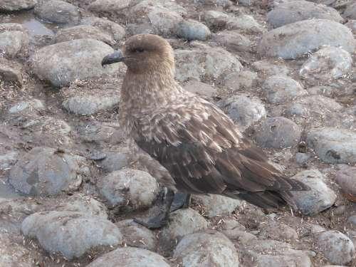 Skua Southern Ocean Antarctica Bird Bird Of Prey