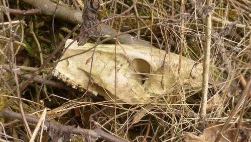 Skull Bone Bone Dead Death Animal Mammal Roe Deer