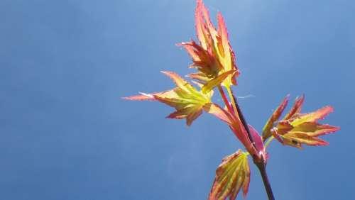 Sky Spring Leaf Purple Maple Japan Nature