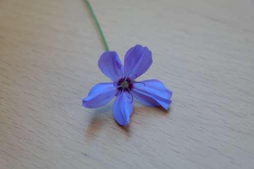 Sky Rose Flower Blossom Bloom Blue Blue Violet
