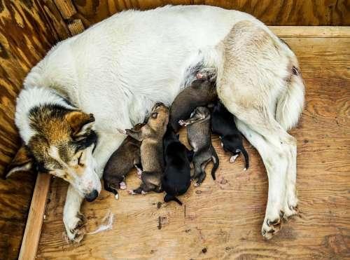 Sled Dog Puppies Dog Sled Sled Sledding Mother Dog