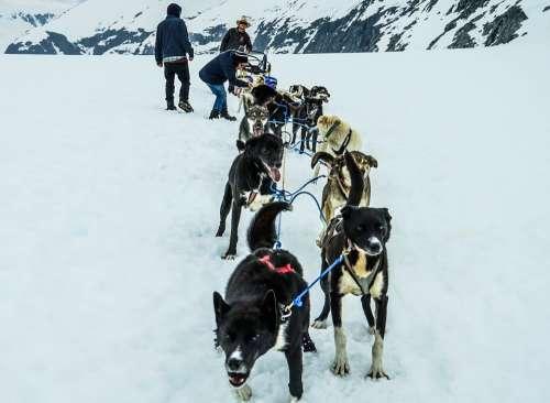 Sled Dogs Alaska Dog Sled Sled Dog Sledding Snow