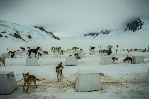 Sled Dogs Alaska Dog Sled Sled Dog Sledding Snow
